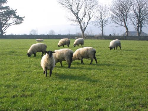 Flock of sheep in Ireland